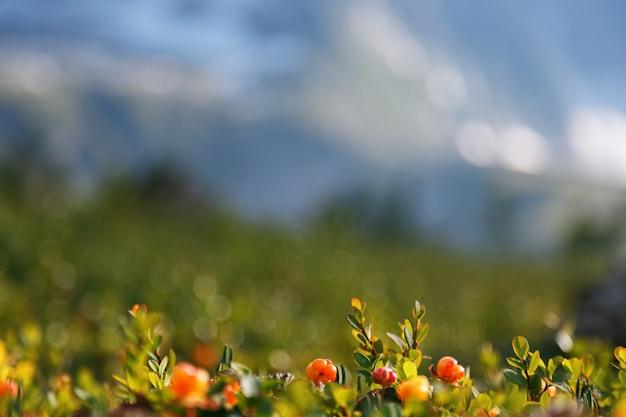 Il cloudberry cresce nella foresta. carelia settentrionale.