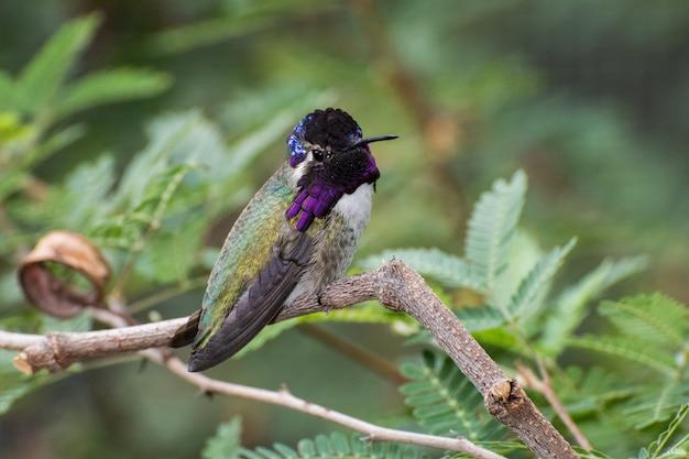 Il colibrì di costa maschio appollaiato su un ramo