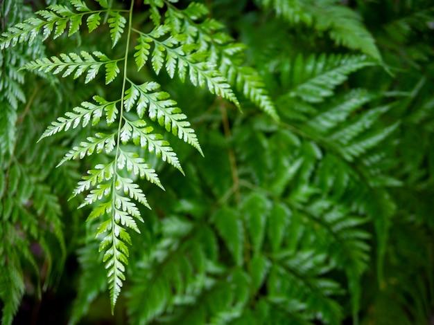 Il colore verde dello sfondo naturale della pianta della foglia della felce si rilassa