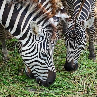 Il colpo alla testa della zebra sta mangiando l'erba