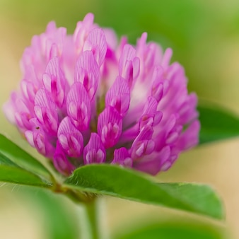 Il colpo del primo piano di bello fiore selvaggio che fiorisce in un campo con una certa rugiada di mattina ha lasciato su esso