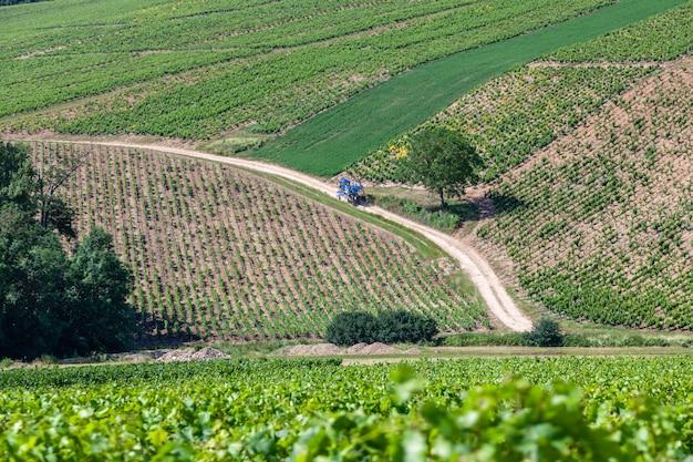 Il colpo panoramico del primo piano rema il paesaggio scenico della vigna dell'estate, la piantagione, i bei rami dell'uva da vino, il sole, il cielo, terra del calcare. raccolta dell'uva di autunno di concetto, fondo di agricoltura della natura