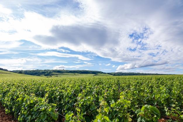 Il colpo panoramico del primo piano rema il paesaggio scenico della vigna dell'estate, la piantagione, i bei rami dell'uva da vino, il sole, terra del calcare. vendemmia autunnale, agricoltura naturale