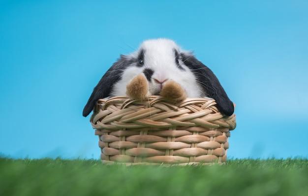 Il coniglio in bianco e nero sveglio simile a pelliccia e lanuginoso sta sedendosi nel canestro su erba verde e sul fondo blu
