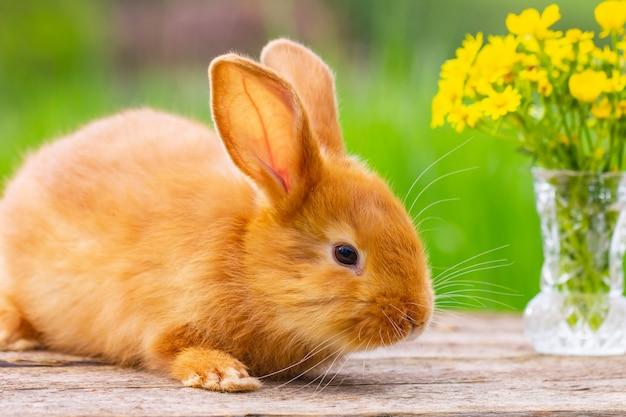 Il coniglio lanuginoso rosso osserva sui precedenti di natura verde