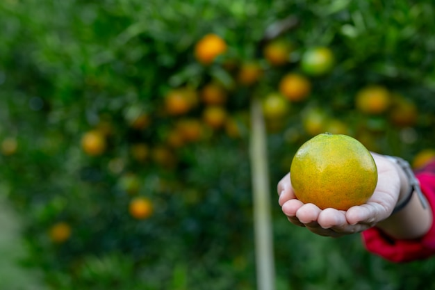 Il contadino sta raccogliendo l'arancia