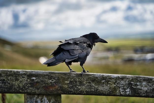 Il corvo bello ha fatto un passo su una rete fissa di legno