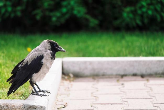 Il corvo nero cammina sul bordo vicino al marciapiede grigio su sfondo di ricca vegetazione con spazio di copia. corvo su pavimentazione vicino a erba verde e cespugli. uccello selvaggio sulla fine dell'asfalto in su. animale predatore della città.