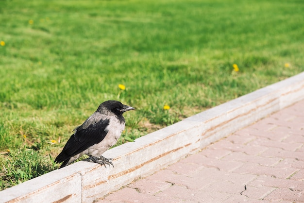 Il corvo nero cammina sul bordo vicino al marciapiede grigio
