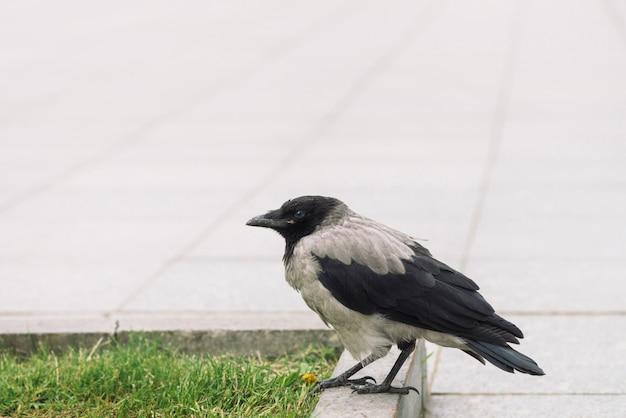 Il corvo nero cammina sul confine vicino al marciapiede grigio su fondo di erba verde con lo spazio della copia.