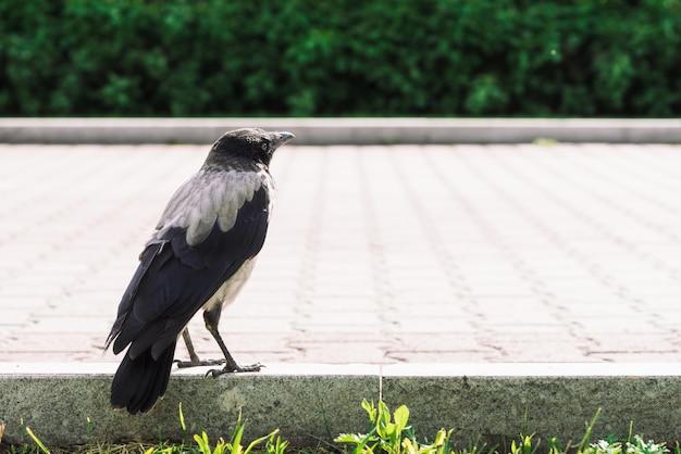 Il corvo nero cammina sul confine vicino al marciapiede grigio su fondo di erba verde con lo spazio della copia