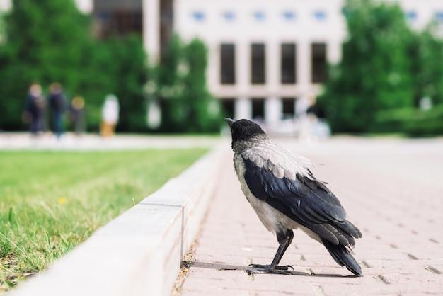 Il corvo nero cammina sul confine vicino al marciapiede grigio sulla costruzione della città nel bokeh con copyspace. corvo su pavimentazione vicino all'erba verde. uccello selvaggio sulla fine dell'asfalto in su. animale predatore della città.