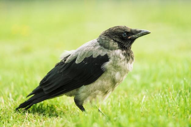 Il corvo nero cammina sul prato verde