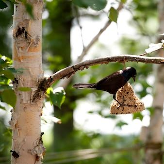 Il corvo si è appollaiato su un ramo di albero in lago of the woods, ontario
