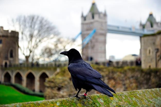 Il corvo sta sul muro di cemento con muschio in torre di londra, inghilterra, regno unito