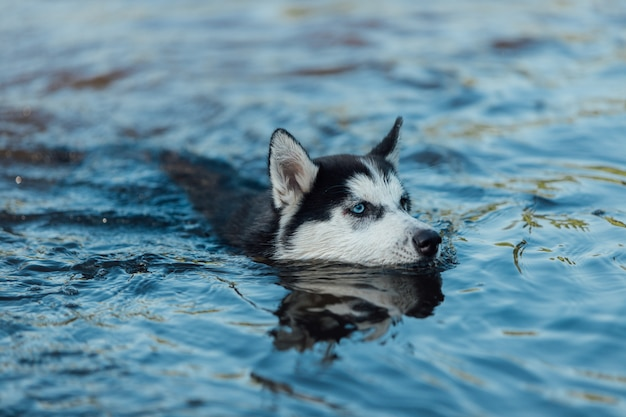 Il cucciolo di cane del husky con l'eterocromia dovuta degli occhi colorati differenti galleggia in acqua.