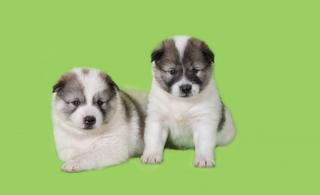 Il cucciolo di cane due si siede su fondo verde