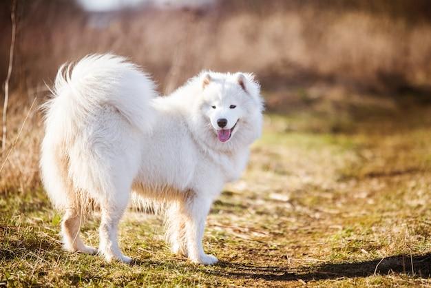 Il cucciolo lanuginoso bianco del cane samoiedo sta camminando fuori