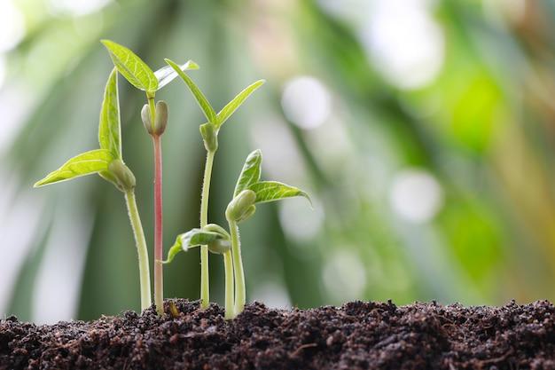 Il fagiolo verde germoglia su suolo nell'orto.