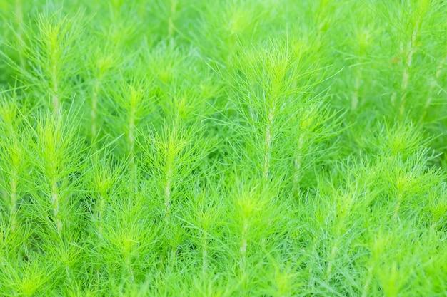 Il finocchio verde fresco del primo piano del cane o l'eupatorium capillifolium lascia il fondo strutturato