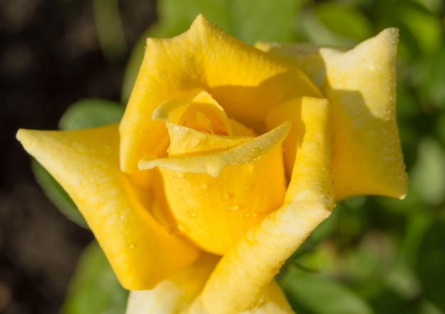 Il fiore adorabile della rosa di giallo con l'acqua cade il primo piano alla luce solare di mattina
