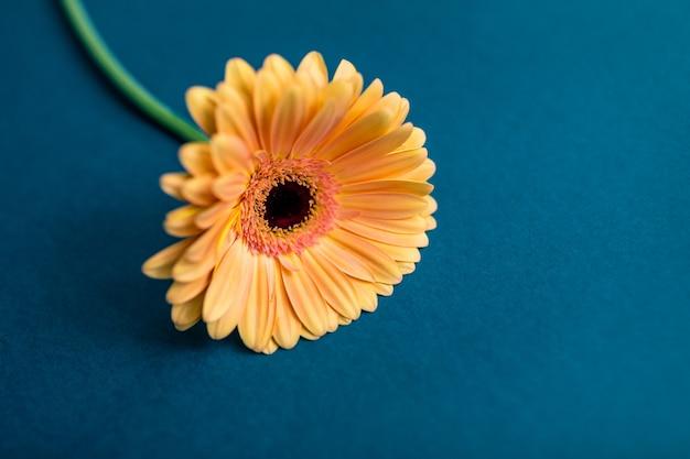 Il fiore arancio della gerbera su un bianco ha isolato il fondo con il percorso di ritaglio.