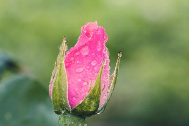 Il fiore d'annata è aumentato con le gocce dell'acqua, dettaglio alto vicino