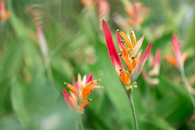 Il fiore del fiore del paradiso del paradiso in giardino botanico con il fondo delle foglie verdi