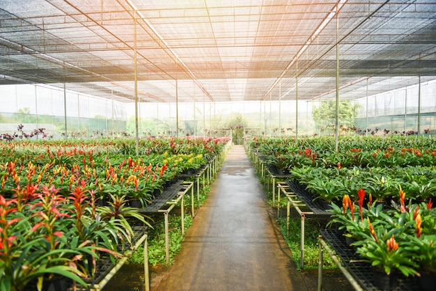 Il fiore della bromelia e l'orchidea coltivano la pianta ornamentale e fioriscono la pianta verde che cresce e che appende nella serra del giardino sotto il tetto