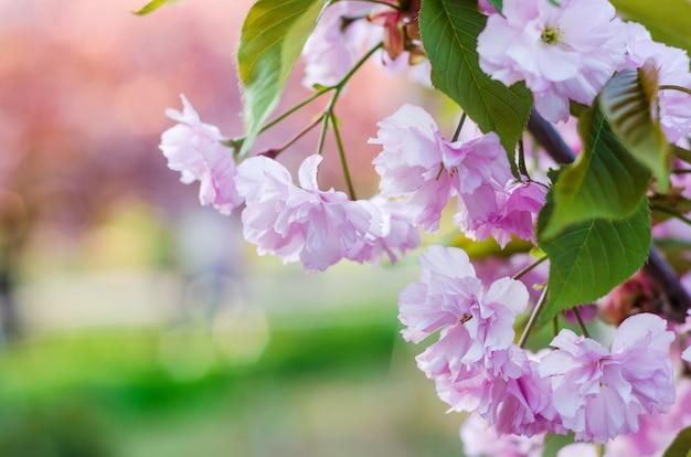 Il fiore di ciliegia, bella primavera rosa sakura fiorisce il primo piano su pianta confusa