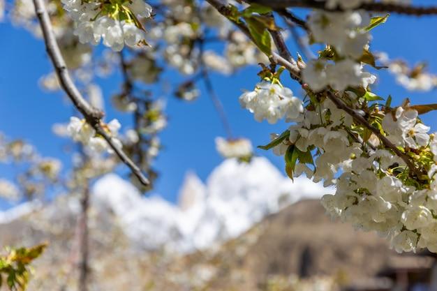 Il fiore di ciliegio al dito della signora e il picco di hunza sono innevati. valle della hunza, gilgit-baltistan, pakistan.