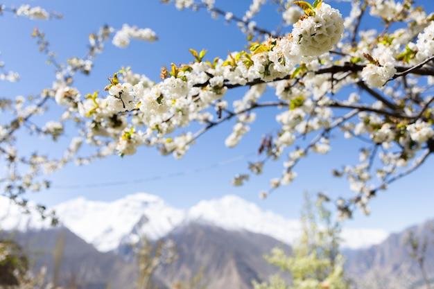 Il fiore di ciliegio nel gardent al dito della signora e nel picco di hunza con neve ricoperta. valle della hunza, gilgit-baltistan, pakistan.