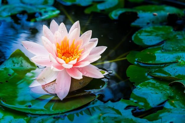 Il fiore di loto è accompagnato dai ricchi colori della superficie dell'acqua blu scuro. natura indietro
