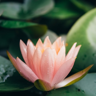 Il fiore di loto è completato dai ricchi colori della superficie dell'acqua blu intenso.