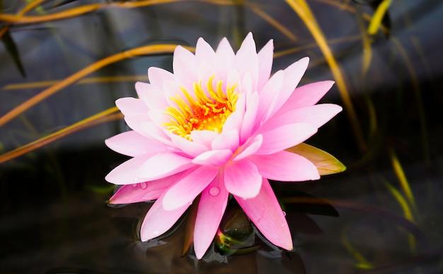 Il fiore di loto rosa, ninfea bella sta fiorendo nello stagno.