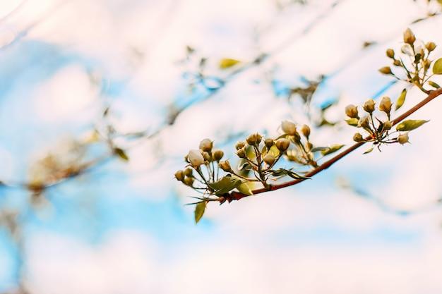 Il fiore di melo di primavera sta per fiorire