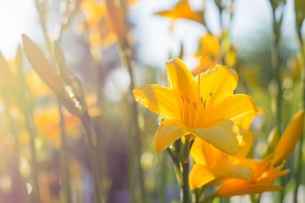 Il fiore di un giglio giallo che cresce in un giardino estivo.