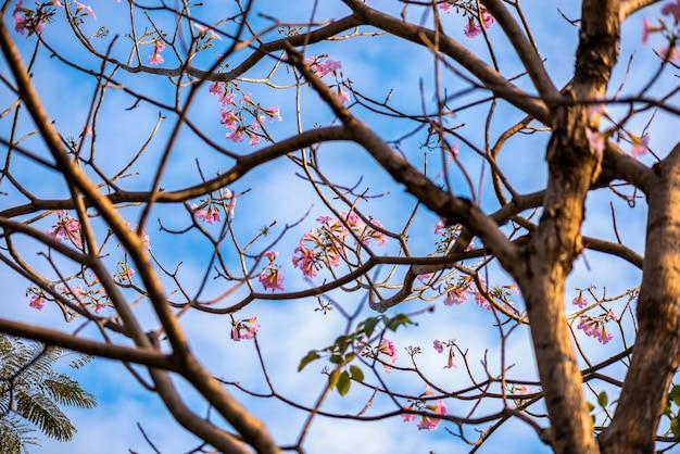 Il fiore rosa dell'albero di tromba che fiorisce nel san valentino gradisce il sogno dolce