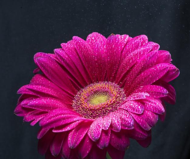 Il fiore rosso della gerbera con le gocce di acqua si chiude su su fondo nero