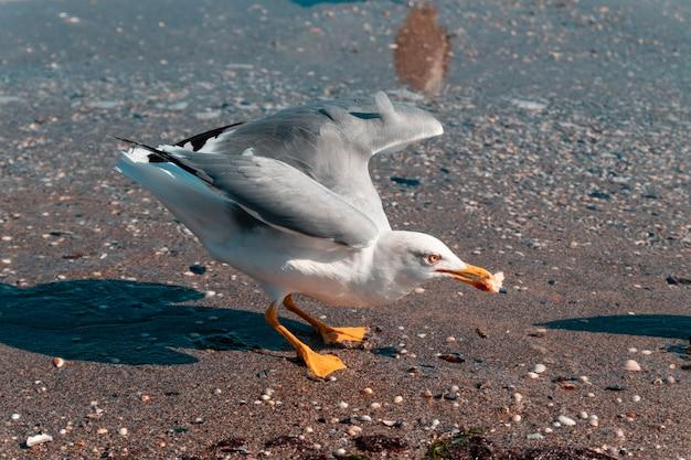 Il gabbiano afferra un pezzo di pane sulla sabbia di un mare o di un oceano.