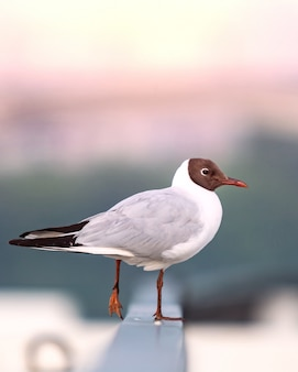 Il gabbiano si siede sul recinto vicino al lungomare e sta per volare. copia spazio