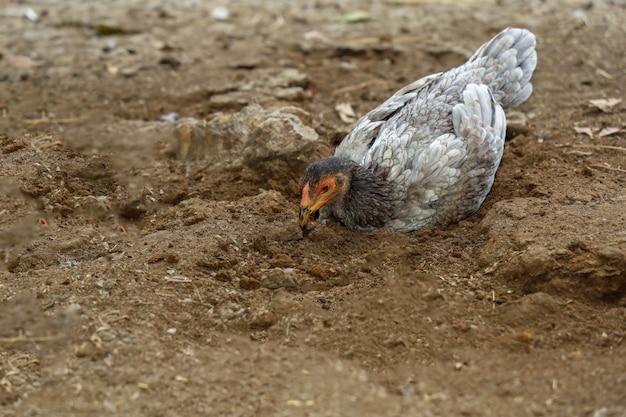 Il gallo da combattimento mangia l'alimento in azienda agricola alla tailandia