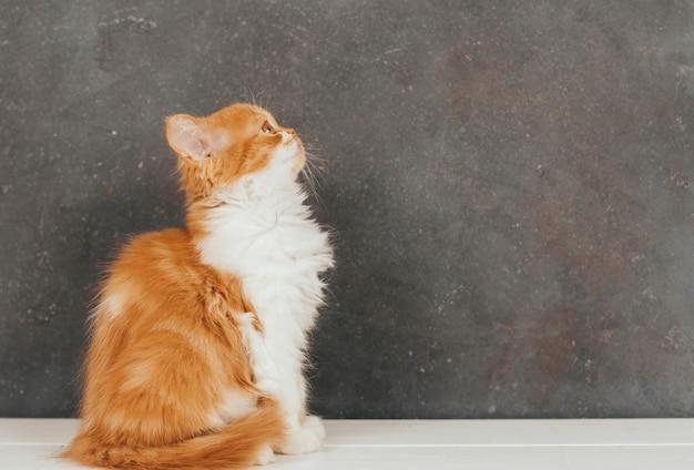 Il gattino lanuginoso dello zenzero si siede su un fondo grigio scuro.