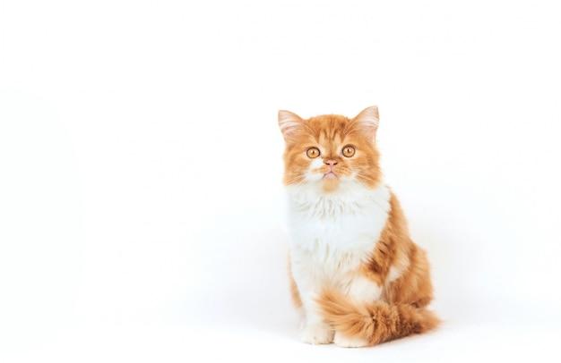 Il gattino lanuginoso dello zenzero si siede su una priorità bassa bianca
