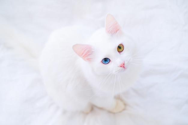 Il gatto bianco con colore differente osserva cercare la macchina fotografica sul letto bianco. angora turca con occhio blu e verde. adorabili animali domestici, eterocromia