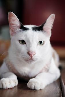 Il gatto bianco tailandese sveglio gode di e si siede sul pavimento di legno in casa con luce solare naturale.
