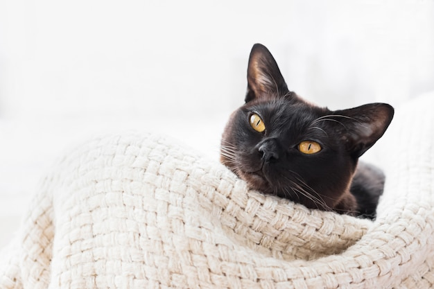 Il gatto birmano che si trova in un canestro e guarda alla macchina fotografica. vista dall'alto.