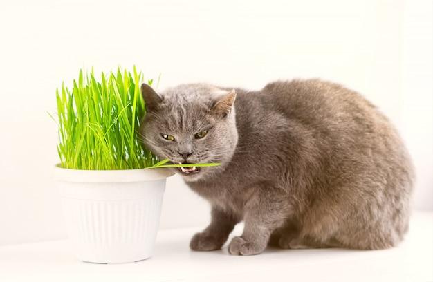 Il gatto britannico grigio mangia l'erba. vitamine per gatti - avena germinata. erba verde in un vaso di fiori.