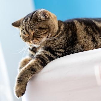 Il gatto british shorthair carino felice di giocare a dormire animali domestici
