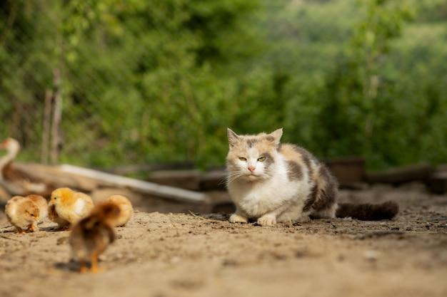 Il gatto caccia sul piccolo pollo nel cortile